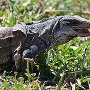 Spiny-tailed or Black Iguana (Ctenosaura similis) in Tulum archeological site, Mexico, June 2009. (Photo/William Byrne Drumm)