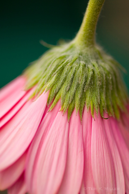 Close-up of gerbera daisy