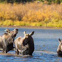 moose bull cow calf in lake