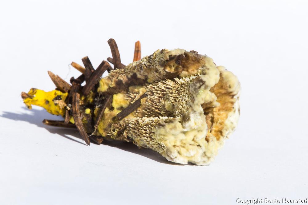 fagerbrunpigg, Hydnellum geogenium. Hydnellum geogenium is a species of tooth fungus in the family Bankeraceae.  Fruitbodies of the fungus contain a yellow pigment compound called geogenin. Sverige: korktaggsvampar, gul taggsvamp. Gul taggsvamp bildar mykorrhiza med gran. Gul taggsvamp växer i äldre barrblandskog eller i ren granskog på kalk eller annan rikare mark, ofta med inslag av lövträd och örter.