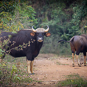 The gaur is a strong and massively built wild cattle species with a high convex ridge on the forehead between the horns, which protrudes anteriorly, causing a deep hollow in the profile of the upper part of the head. There is a prominent ridge on the back. The ears are very large; the tail only just reaches the hocks, and in old bulls the hair becomes very thin on the back.