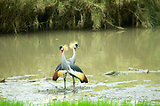 Grey Crowned Crane (Balearica regulorum). Both sexes have the fan-like crest on top of their heads which gives this bird its name. This bird is found throughout southern and eastern Africa, inhabiting marshes and wet grassland. It feeds on plants, seeds, insects and other small invertebrates. Photographed in Tanzania, Serengeti National Park