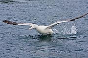 Southern Royal Albatross, Otago Peninsula, New Zealand