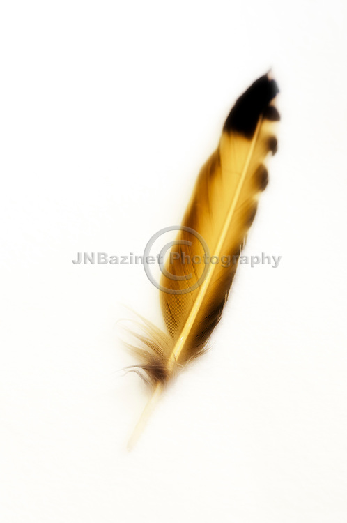 Golden feather from a yellow finch bird, isolated on light background.