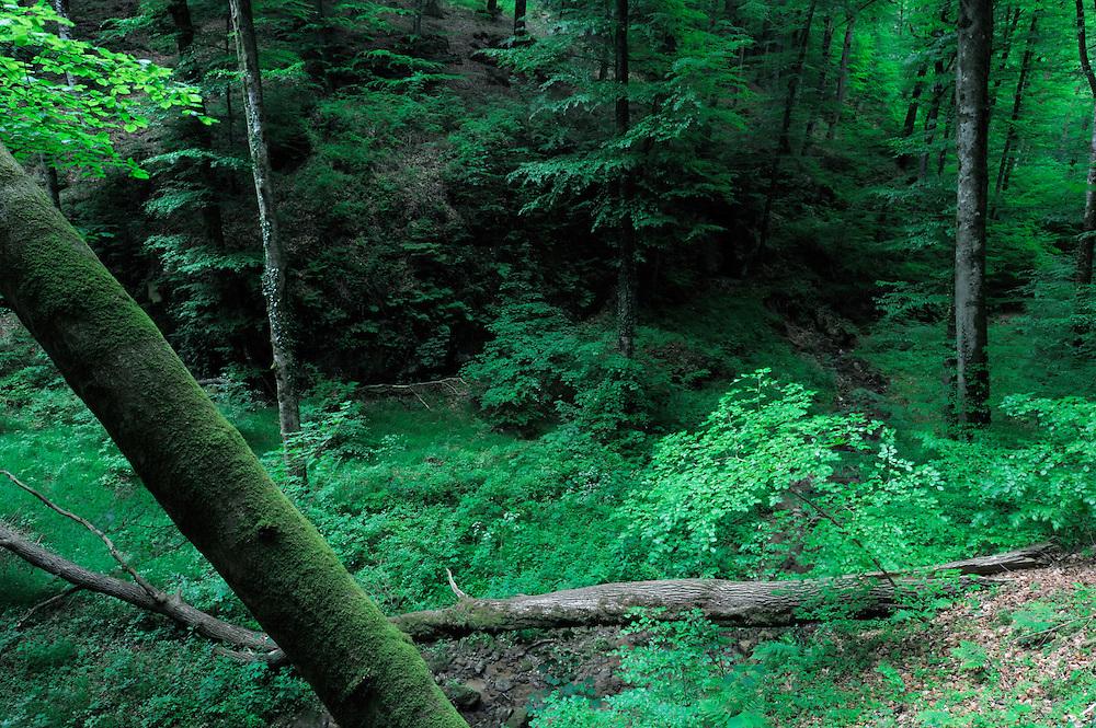 Beech forest near Manzebach, Larochette, Mullerthal trail, Mullerthal, Luxembourg