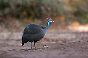 Portrait of n helmeted guineafowl, Numida meleagris.
