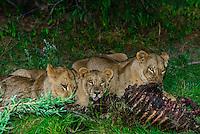 Three female lions eating the carcass of a wildebeest, Kwara Camp, Okavango Delta, Botswana.