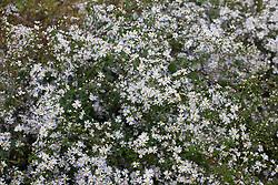 Aster 'Blütenregen'