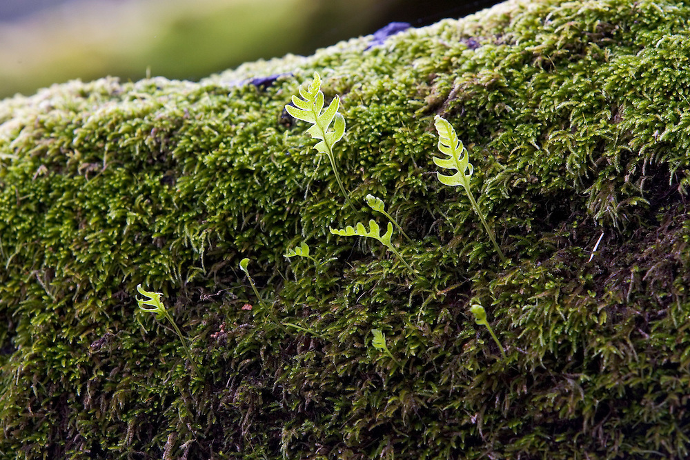 Ferns sprout from moss covered branch, Marin County, California, United States of America