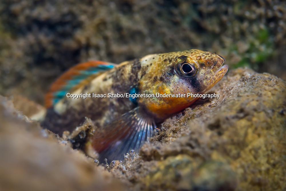 Autumn Darter<br /> <br /> Isaac Szabo/Engbretson Underwater Photography