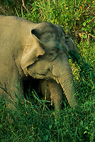 A monther Borneo Pygmy Elephant (Elephas maximus borneensis) with baby.