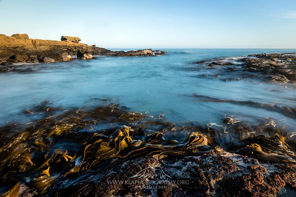 Kelp along the coastline of Curio Bay, Catlins, New Zealand