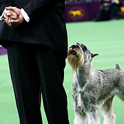 "February 16, 2016 - New York, NY : The Standard Schnauzer ""Shana's Blue Bayou"" competes in the working group final of the 140th Annual Westminster Kennel Club Dog Show at Madison Square Garden in Manhattan on Tuesday evening, February 16, 2016. CREDIT: Karsten Moran for The New York Times"