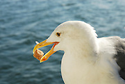 Sonoma California USA, a seagull with its catch in its bill