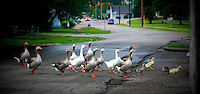 Feed the Geese and Ducks at Putnam Landing Park, Zanesville Oh image for sale.
