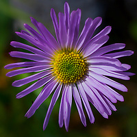 Purple aster, Kananaskis Country, Alberta, Canada.