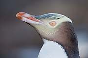 Yellow-eyed Penguin portrait, Stewart Island, New Zealand