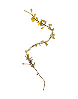 Ascophyllum nodosum No.6 (Rockweed or Knotted Wrack); Bracy Cove, Maine