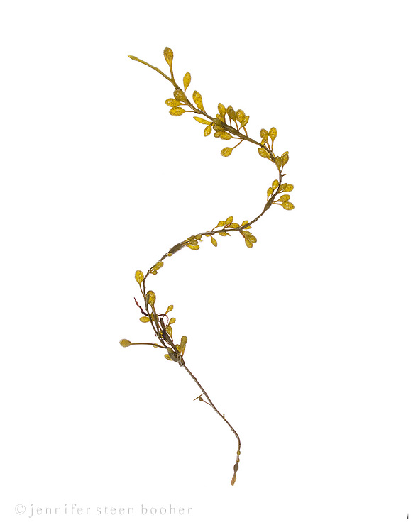 Ascophyllum nodosum No.6 (Rockweed or Knotted Wrack); Bracy Cove, Maine