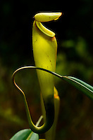 Pitcher plant nepenthes madagascarn , carnivorous plant, South Madagascar Image by Andres Morya