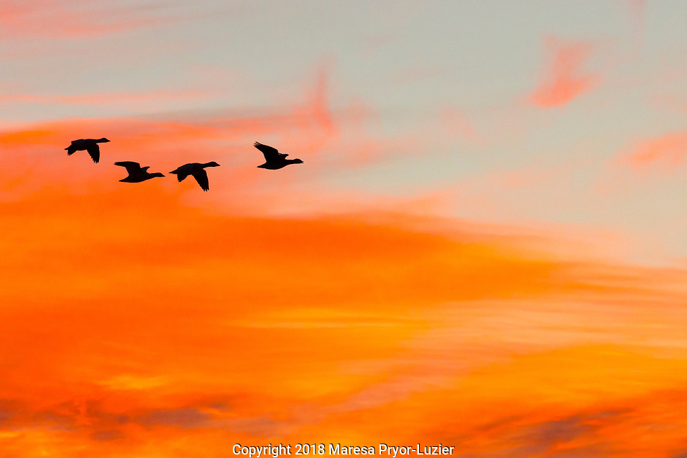 Snow geese in flight before dawn from the flight deck, Bosque del Apache NWR, New Mexico
