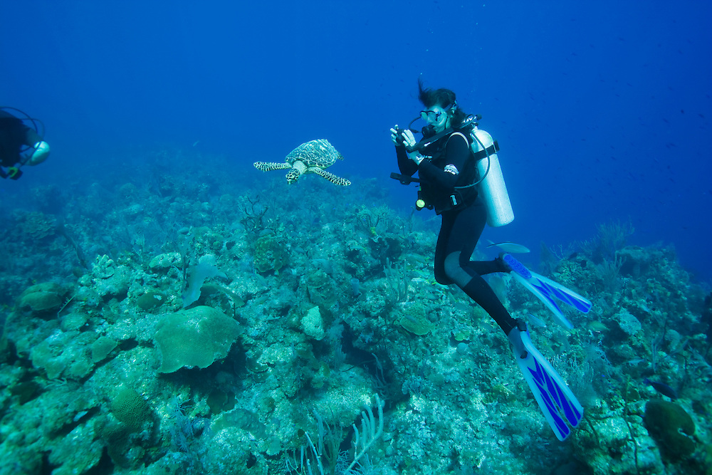 Cayman Islands, Little Cayman Island, Underwater view scuba diver and  Hawksbill Turtle (Eretmochelys imbricata) feeding on coral along Bloody Bay Wall