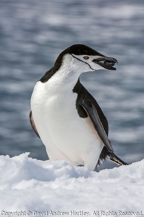 A Chinstrap Penguin (Pygoscelis antarctica) standing on snow holds a rock in its beak, Half Moon Bay, Half Moon Island, Antarctica...Chinstrap Penguins build nests out of small rocks.