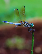 closeup of a dragonfly clinging to water bamboo in my koi pond in charlotte north carolina
