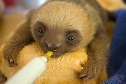 Hoffmann's Two-toed Sloth <br /> Choloepus hoffmanni<br /> Orphaned baby bottle-feeding<br /> Aviarios Sloth Sanctuary, Costa Rica<br /> *Rescued and in rehabilitation program