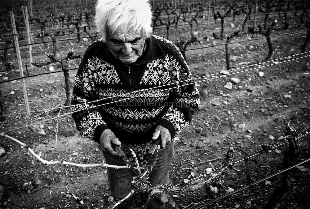 Pruning the vines, La Londe Les Maures, Provence, France.