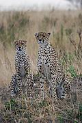 Two alert cheetahs (Acinonyx jubatus) on the lookout. Photographed in Kenya
