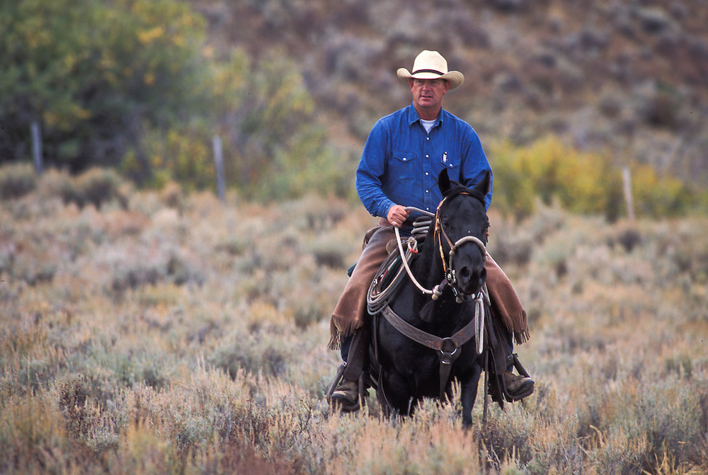 Montana, USA - Ray Marxer, General Manager of the Matador Cattle Co's Beaverhead Ranch,  moving cattle in the Centennial Valley
