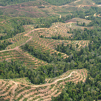 Lowland rainforest on hilly terrain is cleared and terraced for planting of oil palm.