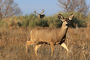 A massive mule deer buck follows a doe across an open flat in the western United States.