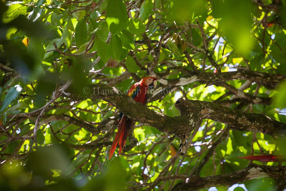 Costa Rica, Osa Peninsula, scarlet macaws