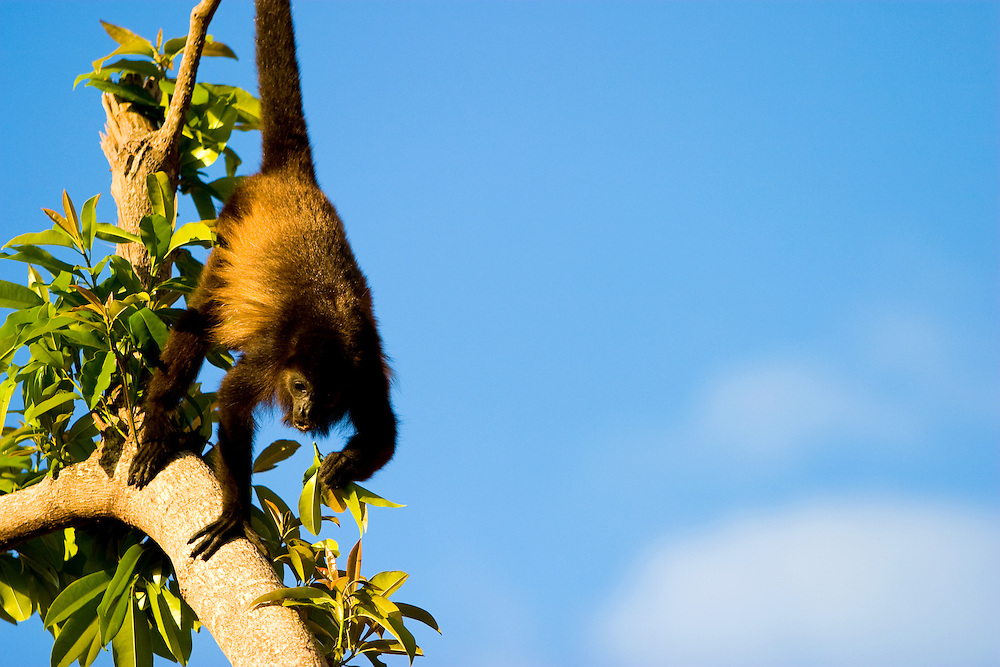 A monkey climbs a tree in the Mexican Riviera Maya.