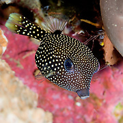Juvenile spotted boxfish Ostracion meleagris at Lembeh Straits, Indonesia.