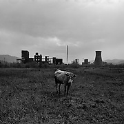 A cow stands alone, tethered in a field on the outskirts of the small Romanian town of Copsa Mica with the Carbosin factory skeleton in the background in Copsa Mica, Transylvania, Romania. Copsa Mica was once described as the most polluted town in Europe. The factory closed down in 1993. May 08, 2008 Photo Tim Clayton...Copsa Mica, a small industrial town deep in Transylvania, Romania, was described during the 1990s as the most polluted town in Europe with lead levels reaching were more than 1000 times the allowable International limits and life expectancy nine years shorter than the National average...The pollution was caused entirely by two factories, Carbosin produced black for dies and tires and closed in 1993 while Sometra, a nonferrous smelter is still operational today...The pollution was so bad sheep were black, covered in soot and health officials advised against eating livestock or vegetables and drinking the water or milk...The Communist rule of Nicolae Ceausescu is blamed for the widespread environmental degradation that left industrial parts of Romania in ecological disaster. Industry was situated in a way to concentrate pollution in small areas leaving the rest of the country relatively free of pollution. Copsa Mica in particular was left an environmental disaster...The pollution caused a direct affect on human health with widespread Lung disease, Impotency, the highest infant mortality rate in Europe, Lead poisoning and behavioral problems...Fifteen years on since the closure of Carbosin in 1993, the factory skeleton remains as part of the towns bleak landscape, Unfinished communist style housing blocks still stand in the heart of the towns housing estate. The town's inhabitants are still trying to recover from the long lasting effects of pollution...Recent survey's found the soil contained so much lead that it was 92 times above the permitted level; the vegetation had a lead content 22 times above the permitted level. While toxins have penetrate