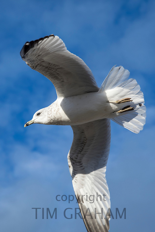 Close up underside of wings and feathers of juvenile Ring-billed gull, Larus delawarensis, in lone flight at Cape Cod, USA