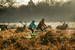© Licensed to London News Pictures. 28/12/2017. London, UK. Cyclists pass deer in a frosty Richmond Park. Tonight is predicted to be the coldest night of the year with temperatures as low as minus 15 °C in some parts of the UK. Photo credit: Peter Macdiarmid/LNP