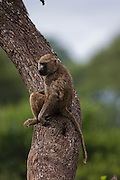 Olive baboon (Papio anubis) on a tree. Photographed in Kenya
