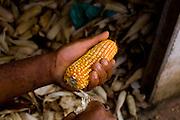 Acaiaca_MG, Brasil...Detalhe de espigas de milho em Acaica, Minas Gerais...Detail of corn ears in Acaica, Minas Gerais...Foto: LEO DRUMOND / NITRO.