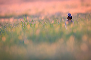 Little Bustard (Tetrax tetrax) male backlit by morning sunlight. Lleida province. Catalonia. Spain.