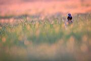 Little Bustard (Tetrax tetrax) male backlit by morning sunlight. Lleida province. Catalonia. Spain.