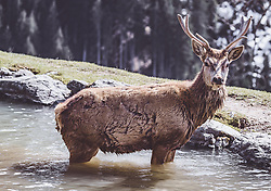 THEMENBILD - ein Rothirsch badet in einem See in einem Wildtiergehege, aufgenommen am 07. März 2019 in Aurach, Oesterreich // a red deer bathing in a lake ath the animal enclosure in aurach, Austria on 2019/03/07. EXPA Pictures © 2019, PhotoCredit: EXPA/ JFK