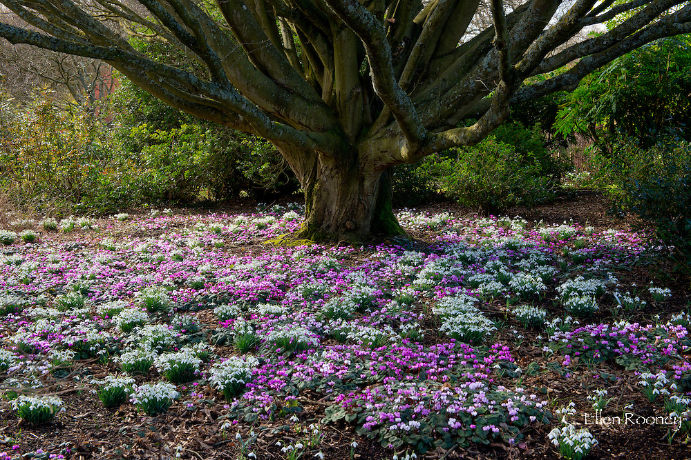 Cyclamen coum and Galanthus woronowii growing under Fagus sylvatica 'Dawyk' at The Sir Harold Hillier Garden in Romsey, Hampshire, UK