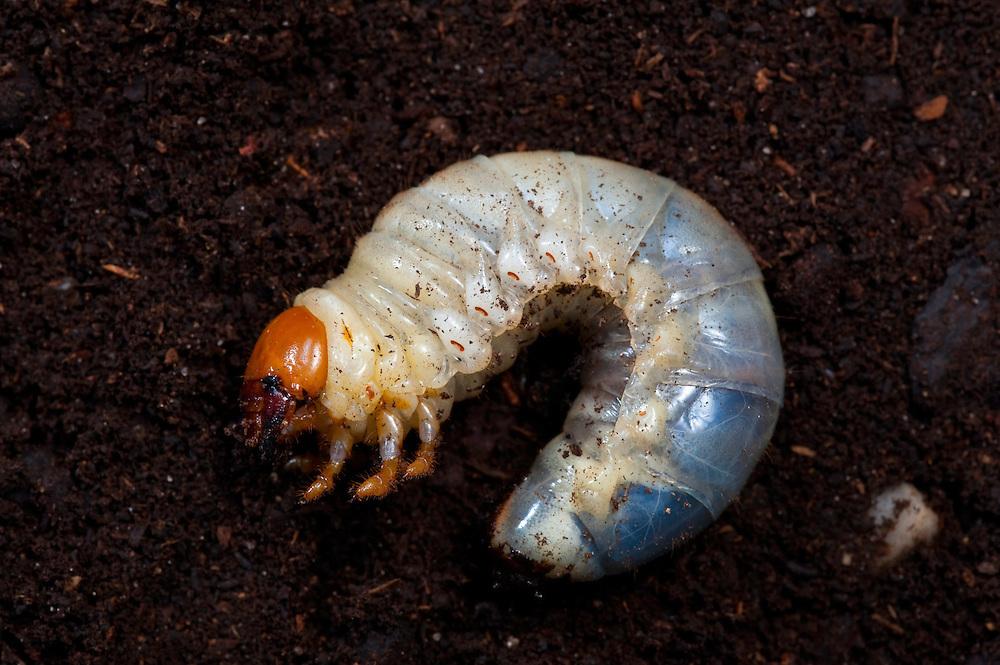 Stag beetle instar, Lucanus cervus, Suffolk, England, Europe.