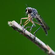 Robber fly. Santa Lucía Cloud Forest Reserve, Barrio La Delicia, Nanegal, Ecuador