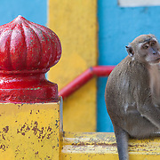 A long-tailed macaque, Macaca fascicularis, sits on the stairs to Batu Caves in Kuala Lumpur