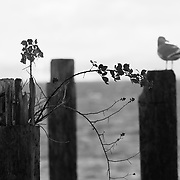 Seagull on piling along Ruston Way, WA